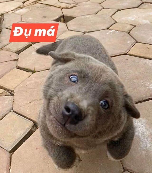 Серый щенок по кличке Дуй