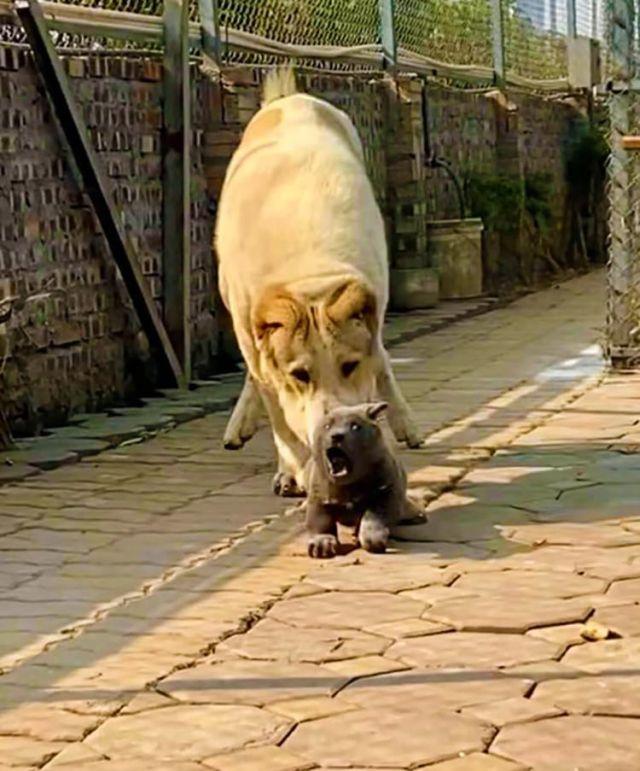 Серый щенок по кличке Дуй и алабай