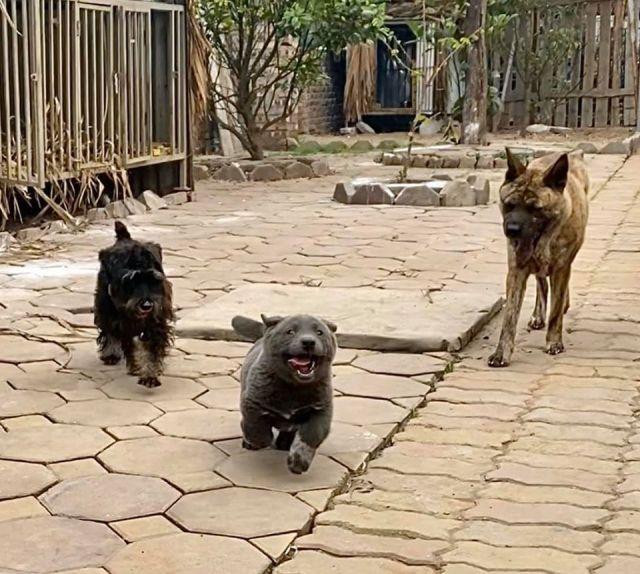 Серый щенок по кличке Дуй играет с собаками