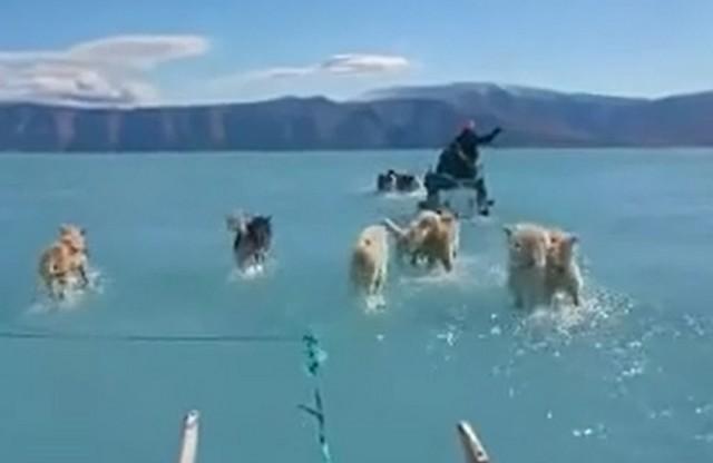 Собаки везет повозку по воде