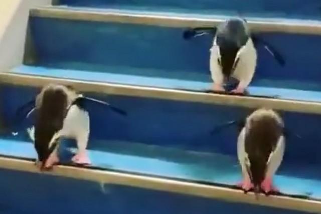 Пингвины прыгают по ступенькам