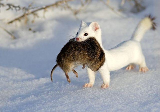 Ласка с мышью