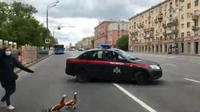 Москва. Помогли утиному семейству перейти дорогу