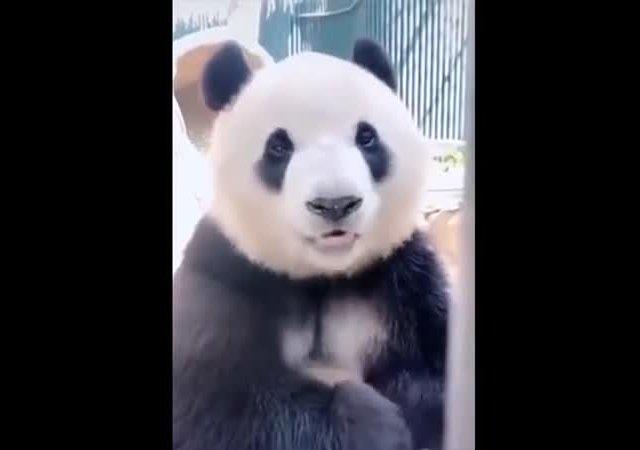 Ну и аппетит у этой панды