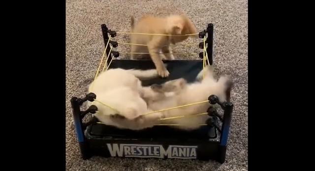 Котята на мини-ринге
