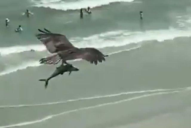 Хищная птица поймала тигровую акулу
