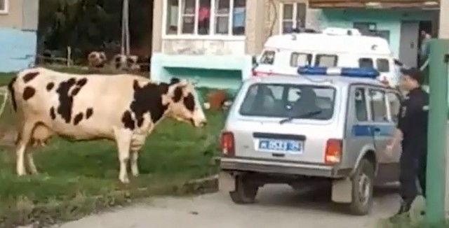 Корова и полиция