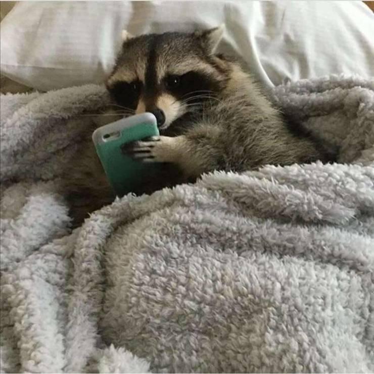 Енот в постели с телефоном