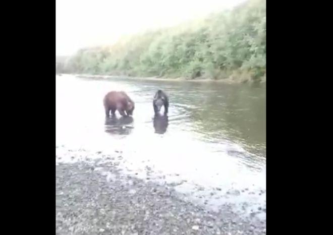 Рыбак прогоняет медведей с реки