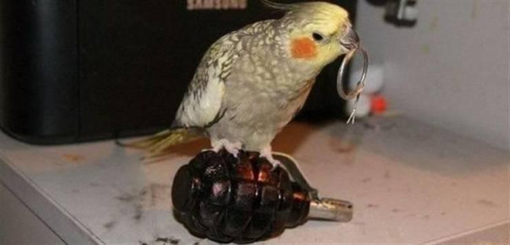 Попугай с гранатой
