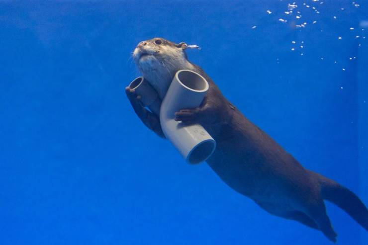 Выдра плывет с трубами