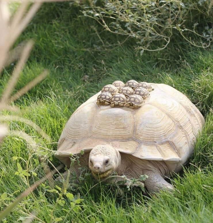 Черепаха с детенышами