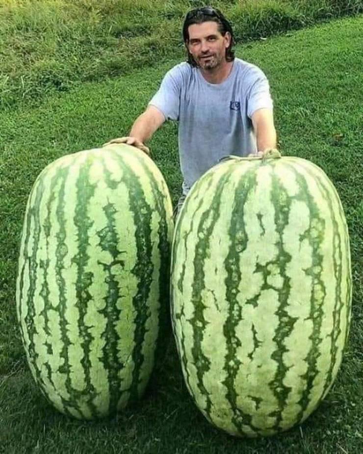 Огромные арбузы