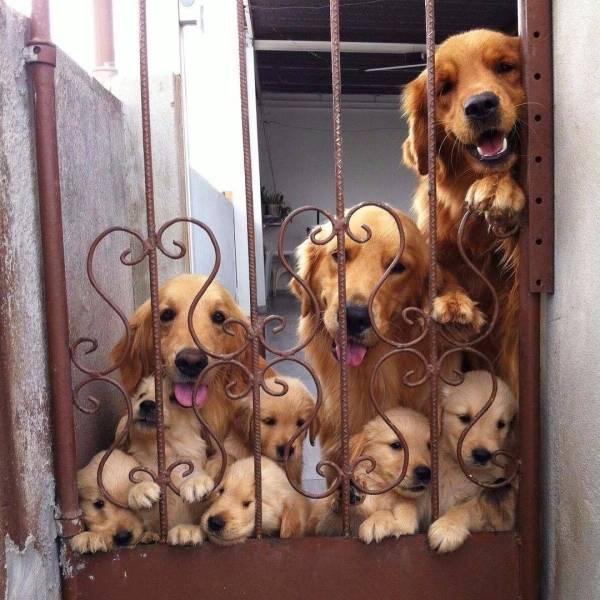 Собачья семья лабрадоров