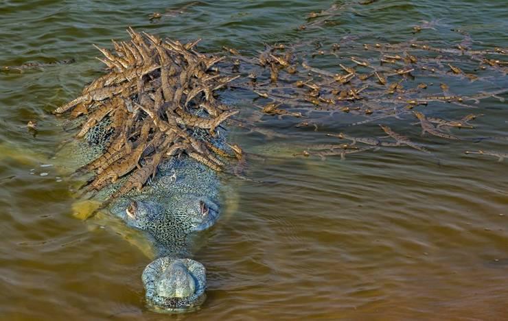 Крокодил и маленькие крокодильчики