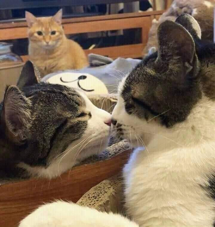 Коты нюхают друг друга