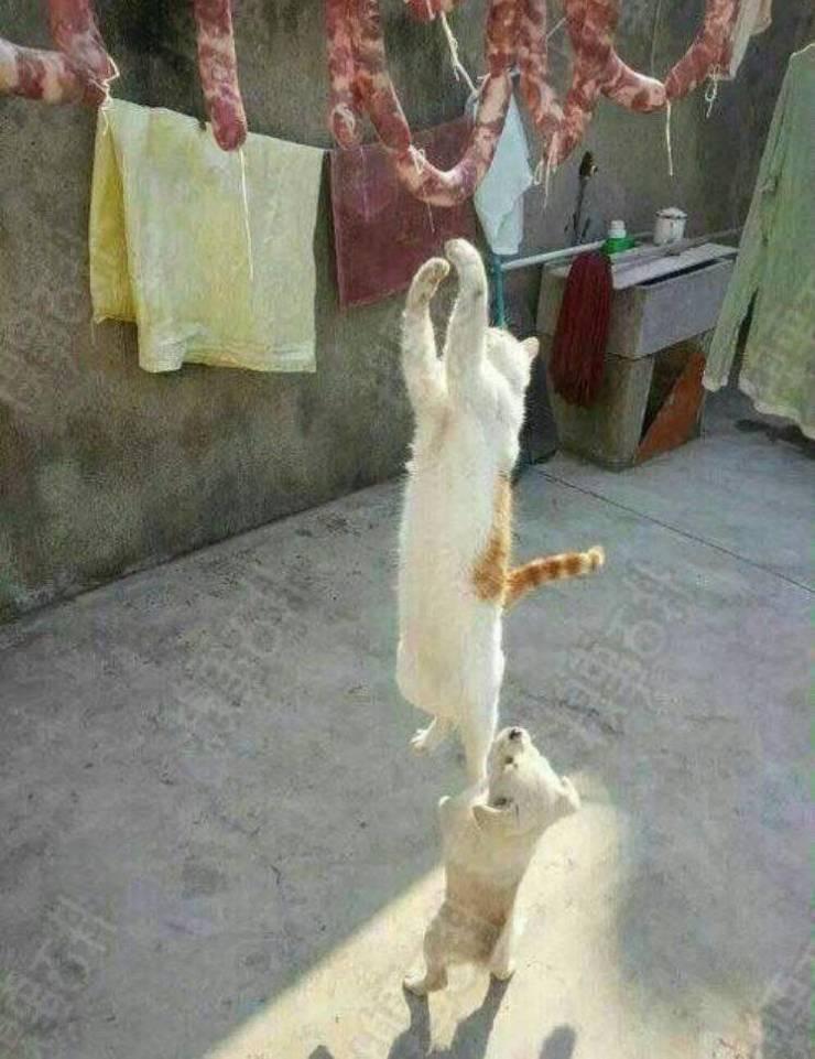 Кот прыгает за сосисками