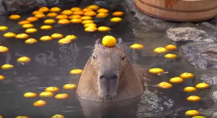 Капибара с мандарином на голове