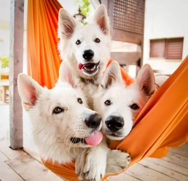 Собаки в гамаке