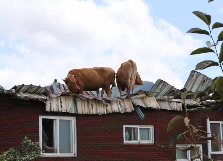 Коровы на крыше здания