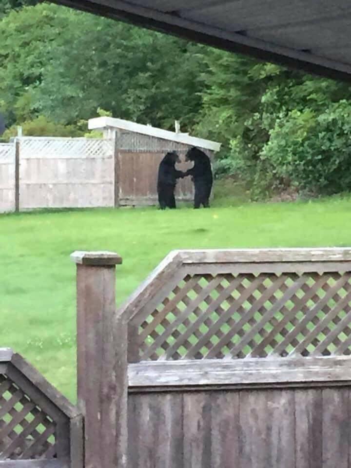 Медведи на заднем дворе дома