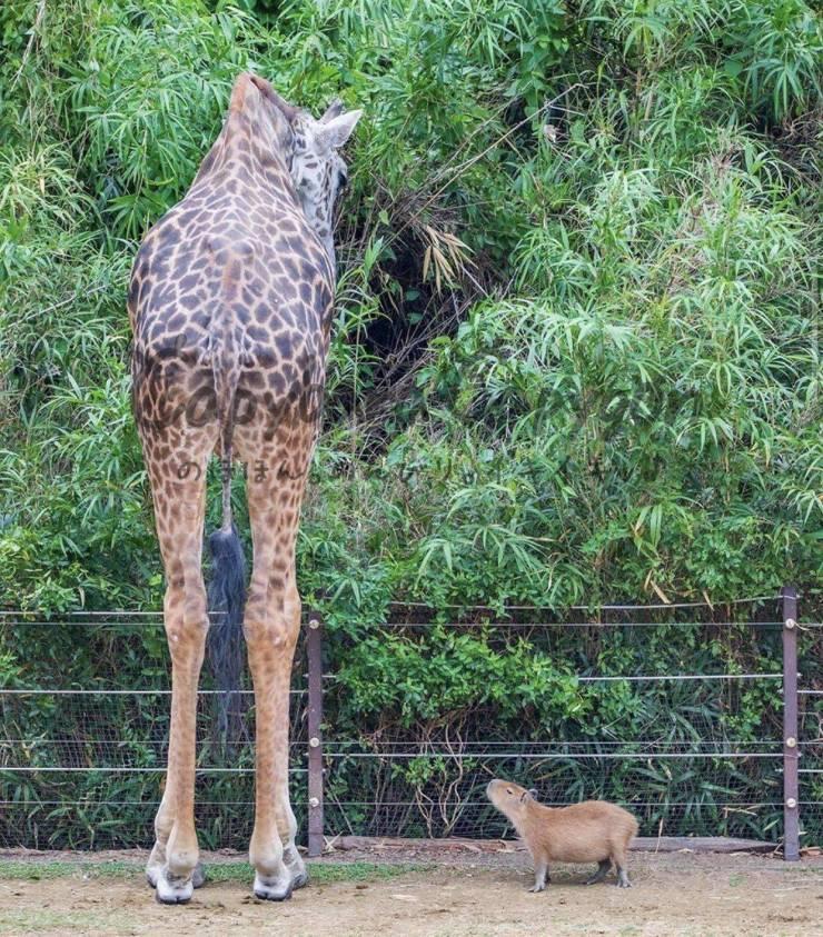 Жираф и капибара