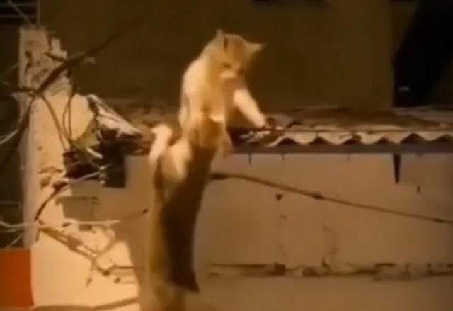 Коты дерутся на крыше