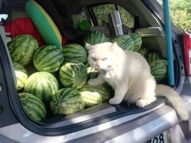 Кот защищает арбузы
