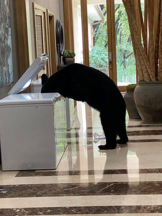 Медведь роется в морозильнике