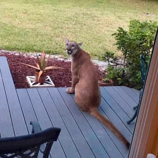 Большая кошка во дворе