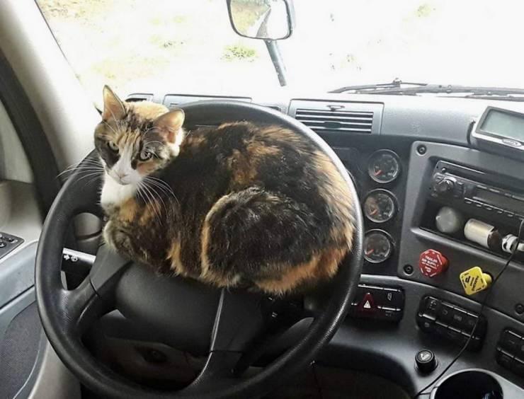 Кот лежит на руле