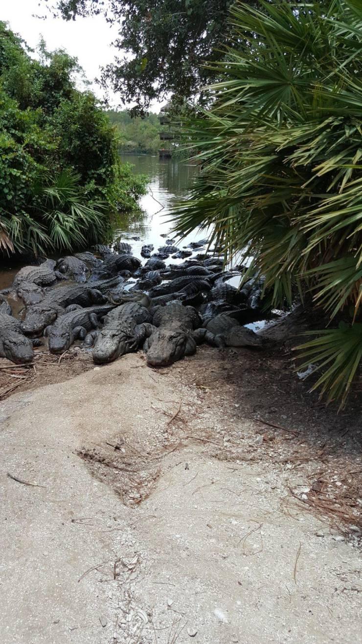 Крокодилы греются на берегу