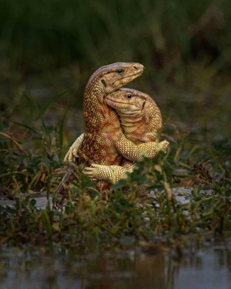 Ящерицы обнимаются