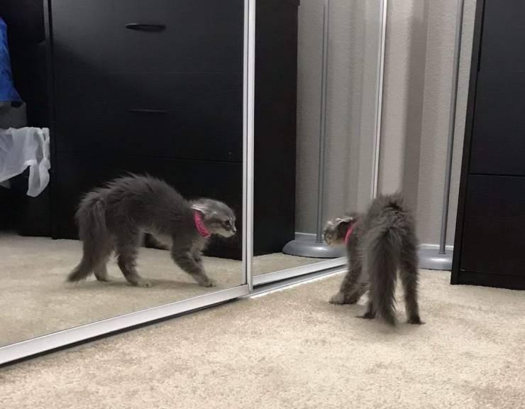 Кот смотрит в зеркало