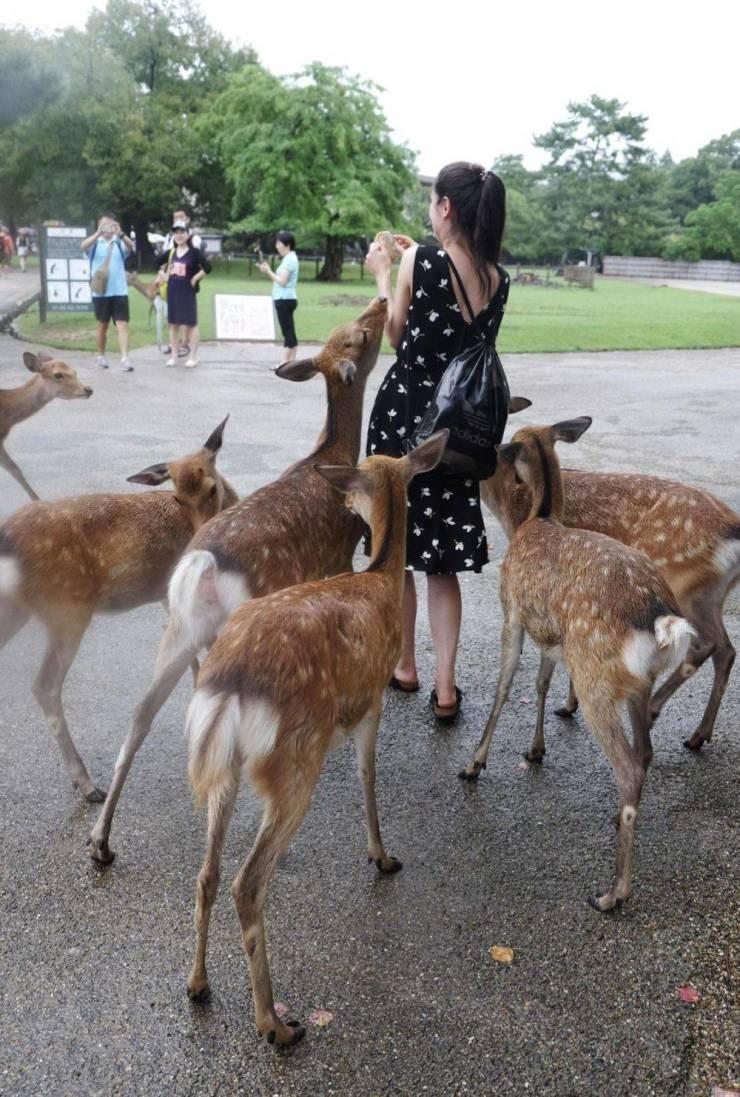 Девушка кормит оленей