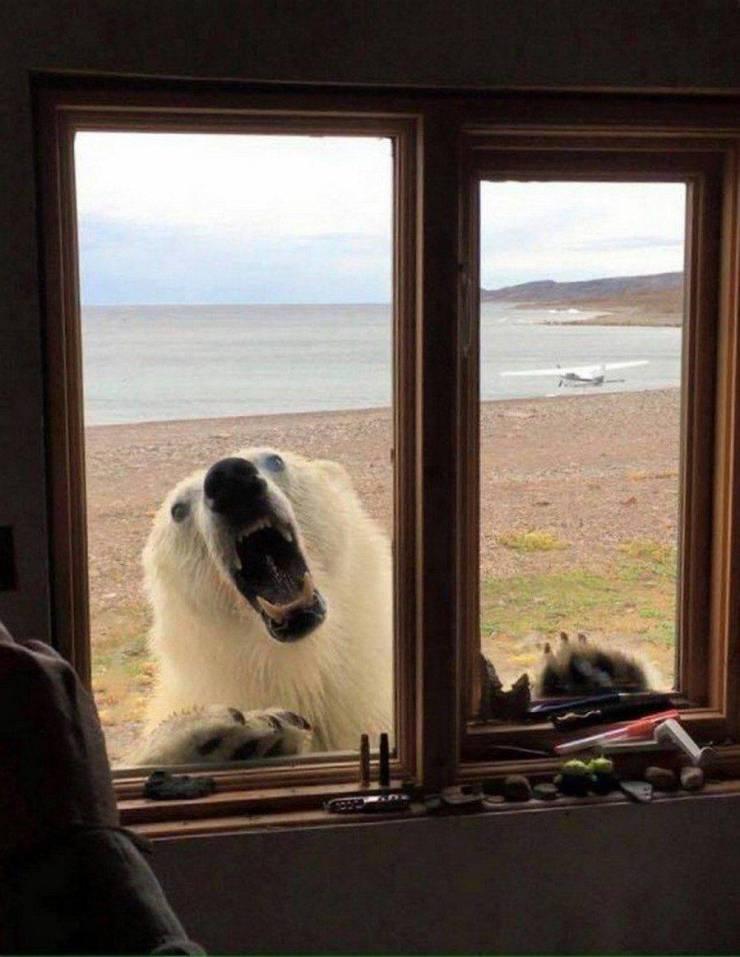 Белый медведь за окном