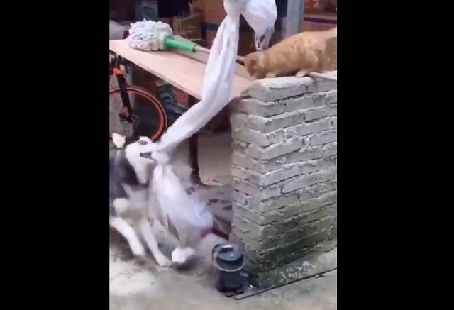 кот и собака играют