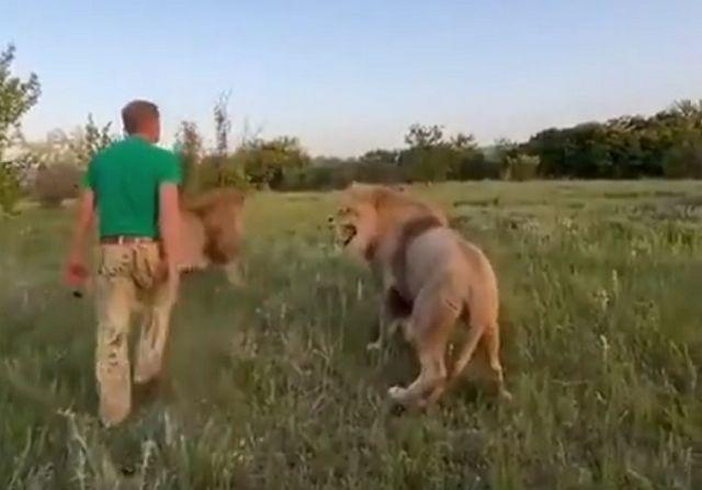 Олег зубков и львы