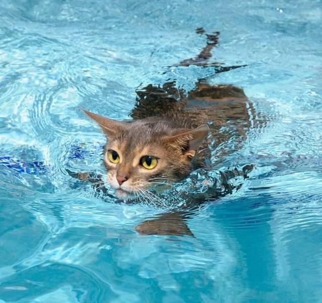 Кот плавает в бассейне