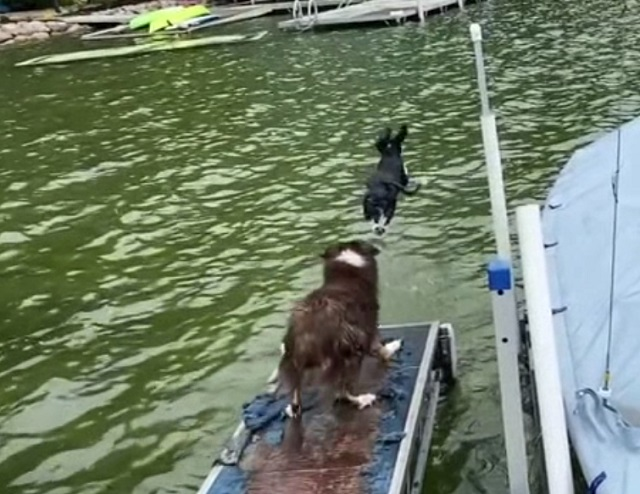 Собаки прыгают в воду