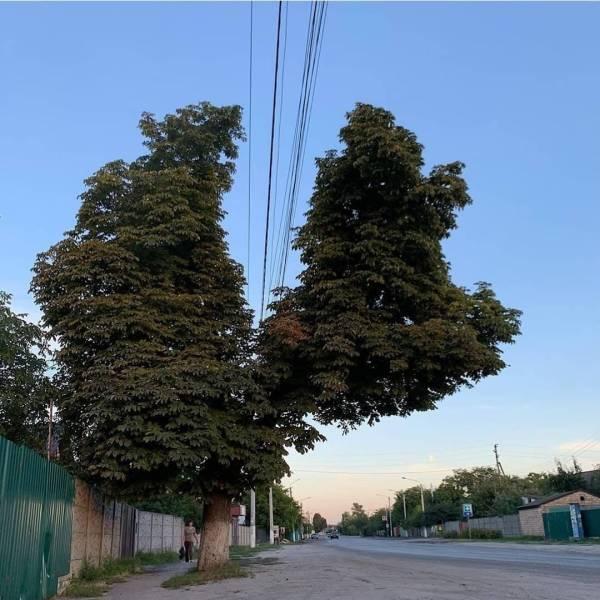 Дерево и высоковольтные провода
