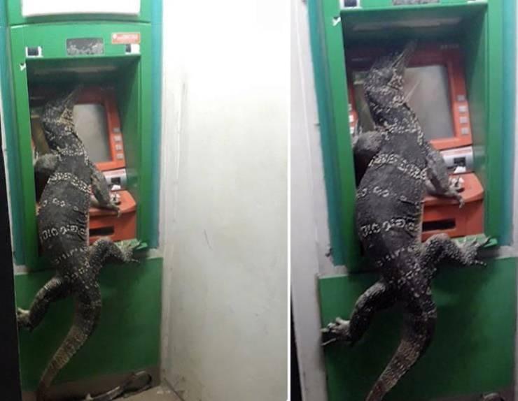 Игуана на банкомате