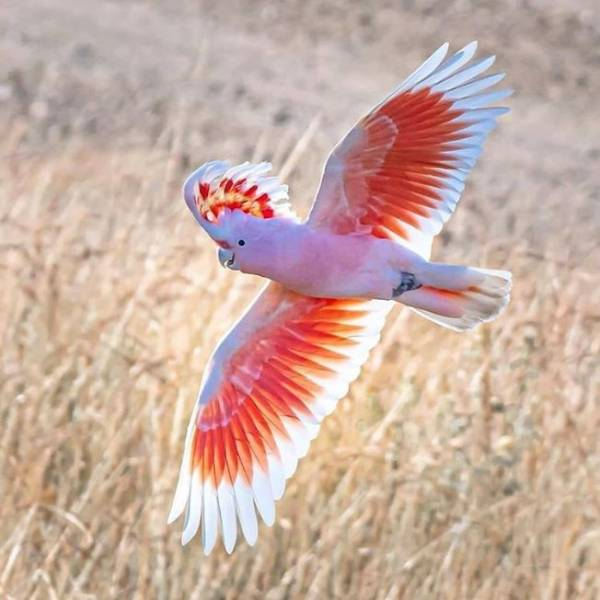 Розовый попугай