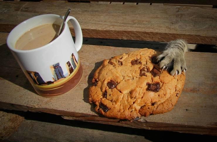 Кот ворует печеньки