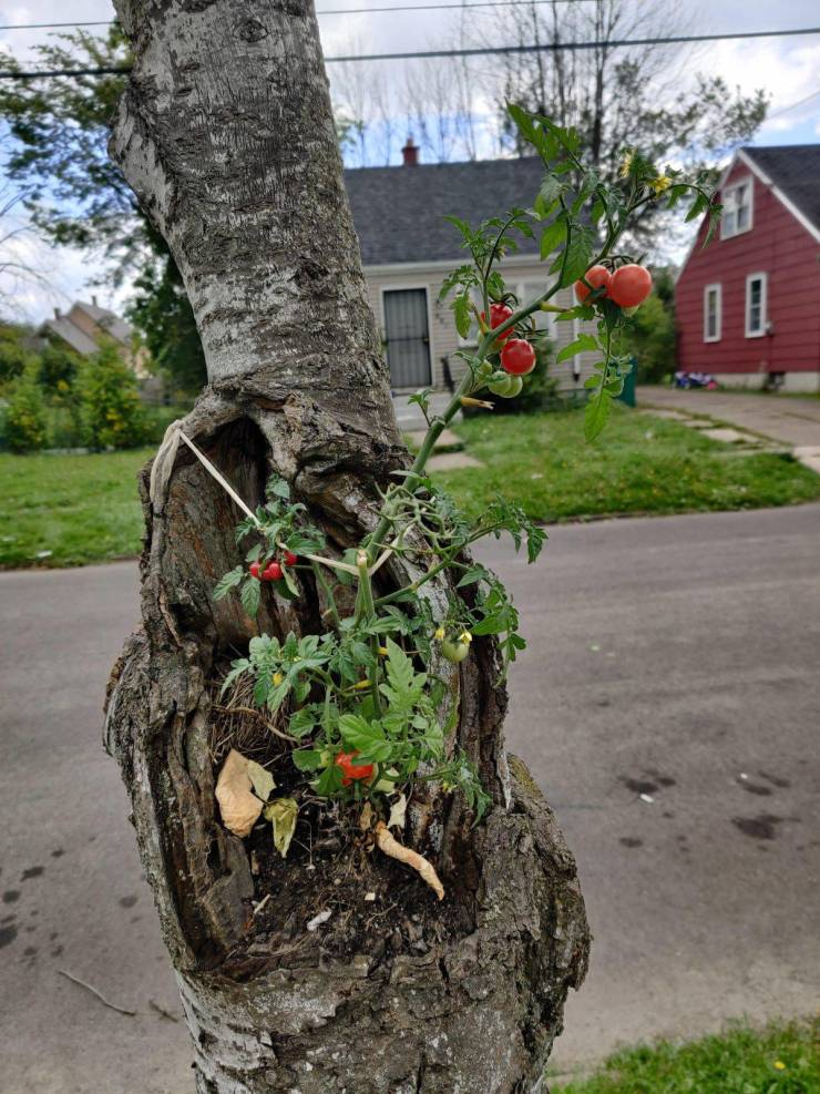 Помидор вырос на дереве