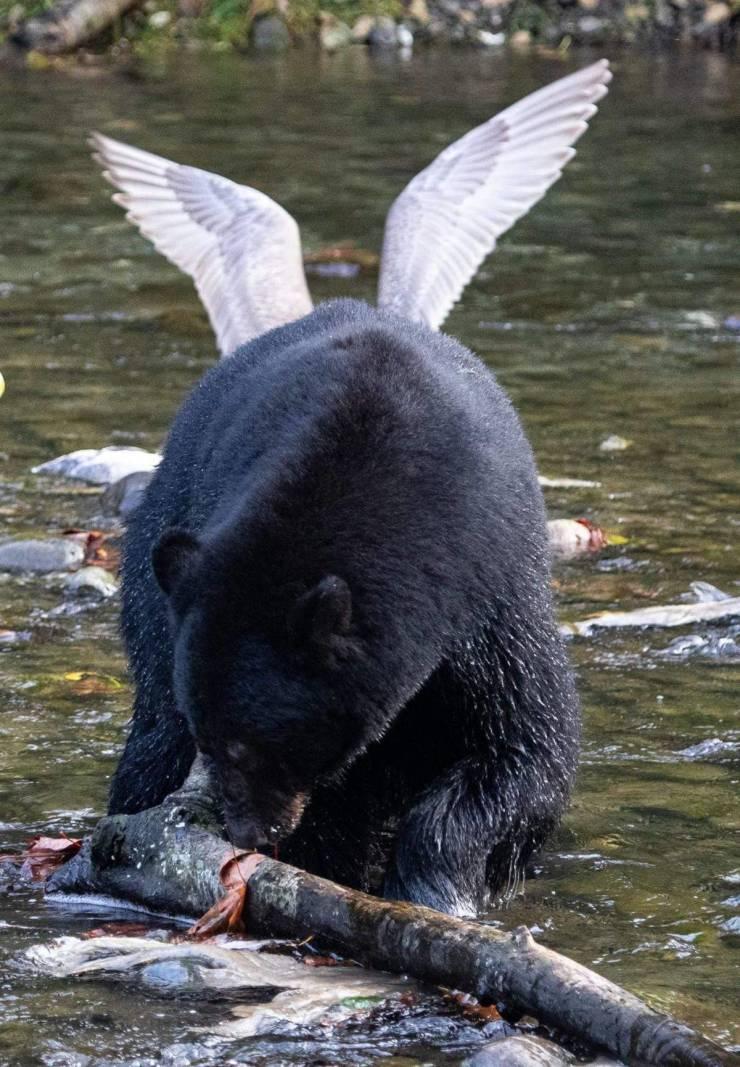Медведь с крыльями