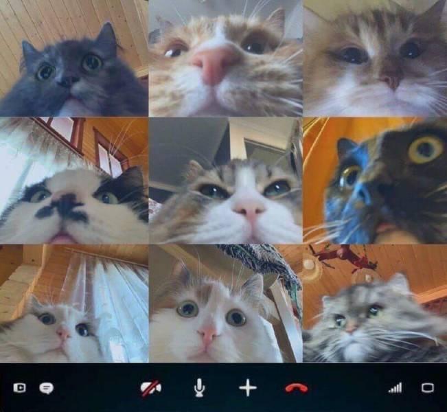 Коты по видеосвязи