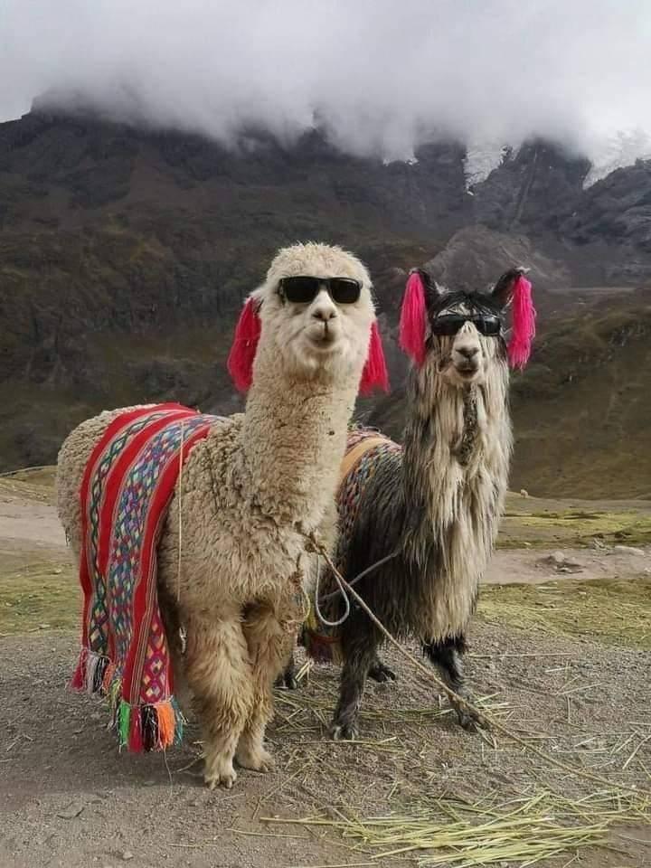 Смешные ламы
