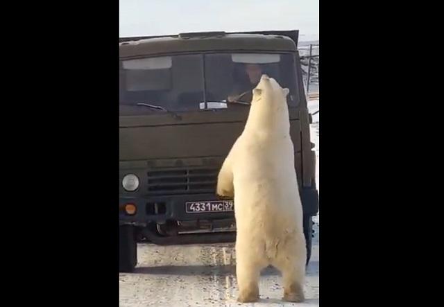 Белый медведь у КамАЗа