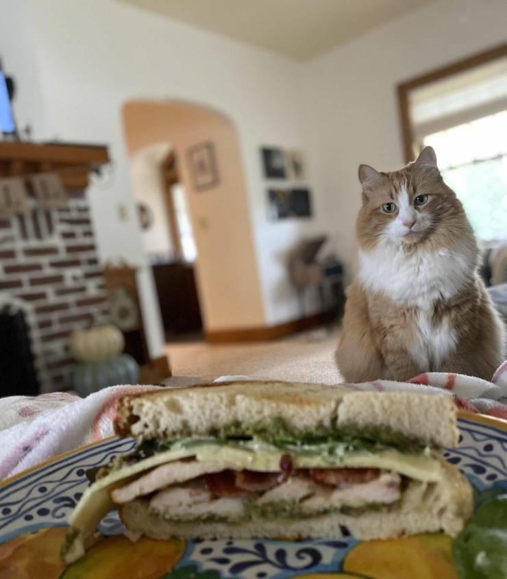 Кот смотрит на бутерброд